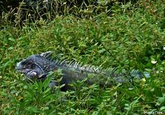 Iguana... (MariaTere-7) Tags: animales iguana parque del este caracas venezuela maríatere7 explore