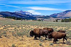 Bisons on Swan Lake Flats, Quadrant Mountains, Yellowstone National Park (klauslang99) Tags: klauslang nature naturalworld northamerica yellowstone national park bisons buffaloes swan lake flats usa bison bonasus landscapes