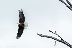 Eagles (alan.forshee) Tags: bald eagles raptors birds prey hunt kill eat fish winter flight feather beak soar water river