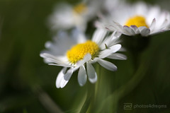 daisies (photos4dreams) Tags: gersprenz20042017p4d gersprenz münster hessen germany naturschutz nabu naturschutzgebiet photos4dreams p4d photos4dreamz nature river bach flus naherholung daisies gänseblümchen