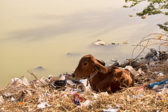 Happy Earth Day! (Chizuka2010) Tags: earthday jourdelaterre earthday2017 pollution lake lakepollution garbage dump india inde travelphotography calf veau lakeshore luciegagnon chizuka2010 rajasthan devsagar barli fortbarli