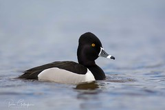 Ring-necked Duck (Ron Gallagher Photography) Tags: american quack wildlife wow wild wildlifephotography wings waders water waterfoul white sault saultstemarie garden gardenriver feather feathers feeder d7100 duck drake diver ducks ducksunlimited bird birds birding birder birders blue nature nikon nikond7100 northern northernontario native