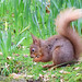 Red Squirrel 4 (Terry Angus) Tags: red squirrel grasmere allenbank