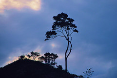 Standing high ! Tree silhouettes ( Nature ) (natureloving) Tags: nature tree silhouette mountain natureloving nikon d90 southindia westernghats india