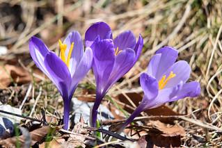 šafran (Crocus sativus / Saffron / Safran)