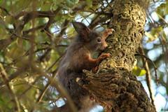 IMG_2131 (marianabmcruz) Tags: parquebiológicodegaia parquebiológico biologicalpark outdoors outdoor nature natureza animal animals fauna esquilo squirrel squirrels