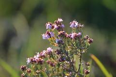 Thym en fleur (dfromonteil) Tags: thym plant plante fleurs flowers nature provence luberon macro bokeh spring printemps light lumière vert pourpre violet purple green colors couleurs