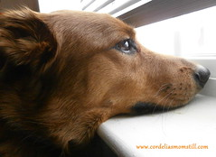 Looking to the Future (cordeliasmom2012) Tags: window dog puppycody cody hope wishing waiting
