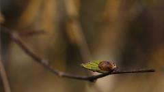2016_03_27_02973 (bencze82) Tags: canon eos 700d voigtländer apolanthar 90mm nature természet növények plant plants növény tavasz spring macro hévízgyörk