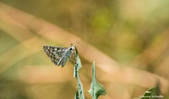 Resting on a leaf (Photosuze) Tags: butterflies insects bugs lepidoptera nature wildlife perching white spring