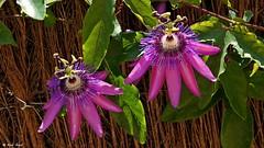 """Passiflora (dreptacz) Tags: """"flickrtravelaward"""" kwiaty natura majorka hiszpania sony slt55 lustrzanka kolorowy pręcik liście płatki passiflora passionflowre passionflower flower flor fleur"""
