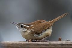Carolina Wren (Ruthie Kansas) Tags: wrenbirdcarolinawrenbackyardbirder troglodytemignon