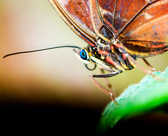 Up close and personal... (kevingrieve610) Tags: butterfly sensational natural history museum spring 2017 insect indoors exhibition wow macro macromondays