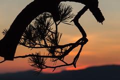 Conifer Silhouette (gleavesm) Tags: blueridgeparkway virginia sunset