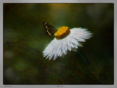 Yellow Hat (Clyde Scorgie Photography) Tags: photoshop photoshopartistry macro butterfly nature naturallight nikon manipulatedphoto