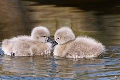 Zwarte zwaan (Cygnus atratus) (mia_moreau) Tags: zwartezwaan cygnusatratus zwaan vogel bird miamoreau limburg nederland