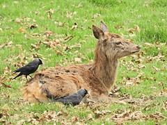 Cheeky jackdaws (PhotoLoonie) Tags: jackdaw deer reddeer nature wildlife wildanimals animal spring birds wildbirds
