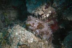 Web Burrfish (Jeff Mitton) Tags: fish webburrfish pufferfish marine tropical reef guanaja honduras caribbeansea earthnaturelife wondersofnature