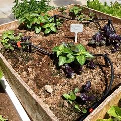 Basil Flowerbed (Assaf Shtilman) Tags: basil flowerbed seedlings