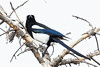 Magpie Looks At Camera (dcstep) Tags: magpie blackbilledmagpie perched aurora colorado unitedstates us n7a6571dxo all rights reserved copyright 2017 david c stephens bird cherry creek state park natureurban urban nature sanctuary canon 5d mkiv ef 500mm f4l is ii 14x tciii handheldpixelpeeper copyrightregistered04222017 ecocase14949772801