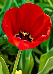 Popping Poppy (JoelDeluxe) Tags: albuquerque botanical garden biopark poppy flower red green newmexico hdr joeldeluxe