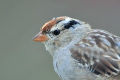 White-crowned Sparrow juvenile by Jackie B. Elmore 4-3-2017 Lincoln Co. KY (jackiebelmore) Tags: zonotrichialeucophrys whitecrownedsparrow sparrow lincolnco kentucky nikon7100 tamronsp150600f563 jackiebelmore kos