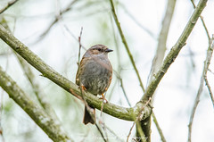 Dunnock (phat5toe) Tags: birds avian feathers wildlife nature dunnock wigan flashes greenheart nikon d7000 tamron150600mm