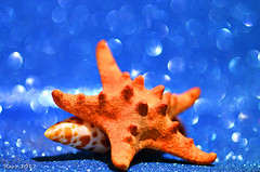 Macro Mondays - Orange & Blue (xaro...) Tags: macro macromondays orangeandblue orangeblue orange blue naranjayazul estrella caracola mar tarongaiblau