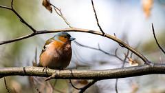 Fringilla coelebs // Common Chaffinch // Buchfink (Lukas Tietgen) Tags: pentaxians bokfink fink fugl wildparkeekholt eekholt wildpark