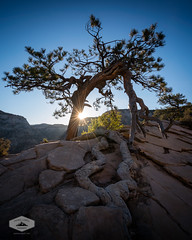 Lone Tree in Zion National Park (jkuphotos) Tags: canyon cliffs desert jamesudall landscape lonetree mountains nationalpark nature outdoors redrock scenery scenic southernutah travel tree utah zionnationalpark