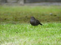 Merle noir (héloïsenaturaliste) Tags: plant nature wildlife merle turdusmerula commonblackbird blackbird bird