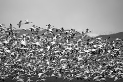 Wild (Snow) Goose Chase (amarilloladi) Tags: flocks migration birds geese conway skagitvalley snowgeese 7dwf blackandwhite bw monochrome