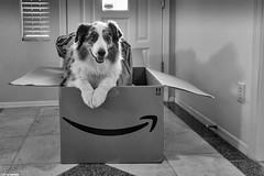 (14/52) Amazon Now Delivers Smiles (Jasper's Human) Tags: aussie australianshepherd amazon 52weeksfordogs 52wfd