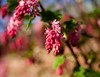 blossoms (jonashoffmann28) Tags: flickr flower flowers art nature f18 bokeh bokehlicious dof blossoms blossom spring 2017 canon canon50mm color colors pink green j0n4s blue sky