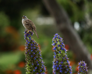 White Crowned Sparrow_8944