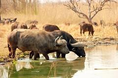 Buffalo (Pixi2011) Tags: buffalo wildlife rietvleinr nature