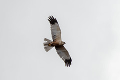 Marsh Harrier (Keith Grafton) Tags: leightonmoss marsh harrier birds