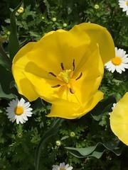 チューリップ (eyawlk60) Tags: yellow ulip spring white チューリップ 黄色 春
