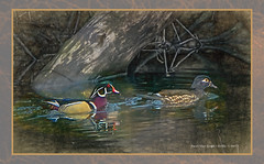 Woodies      ...HSS! (jackalope22) Tags: hss wood ducks woddducks van gogh sketch sliders sunday