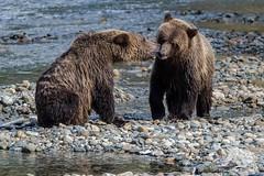 Grizzly Siblings (fascinationwildlife) Tags: animal mammal british brown braunbär bär bear grizzly juvenile sibling wild wildlife fall autumn orford river columbia bc kanada canada banks creek salmon predator