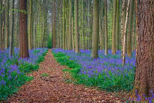 Purple forest @ Belgium