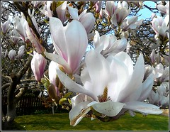Lovely Magnolia .. (** Janets Photos **) Tags: uk plants flora trees blossoms magnolia