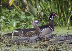 Wood Duck ( Husband & Wife ) (billkominsky ) Tags: naturethroughthelens