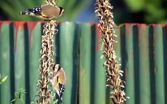 Finch(es) in April -003 (JayVeeAre (JvR)) Tags: ©2017johannesvanrooy bird birdfeeding birds birdsfeeding finch johannesvanrooy johnvanrooy gimp28 picasa3 httpwwwflickrcomphotosjayveeare johnvanrooygmailcom gimpuser gimpforphotography canonpowershotsx60hs wildflowerseeds wildflowers