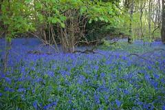 Bluebell Woods @ Dusk (Adam Swaine) Tags: bluebells flora flowers wildflowers woodlandfloor woodland woods trees nature england english canon countryside kent dusk britain british uk springinkent spring seasons naturelovers
