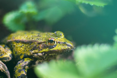 The Frog King (Wanderstock) Tags: nature frog frogking green dynamic eyes 50mm 18 canon light magiclight eye