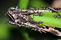 Grasshopper  #10: EASTERN LUBBER (Juvenile)  #9 (3Point141) Tags: 3point141 grasshopper easternlubber florida usa huntgrove merrittisland romaleidae romaleaguttata romaleamicroptera