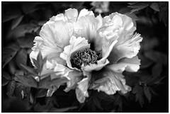 Velours de Pivoine (::YS::) Tags: yann savalle yannsavalle yasa sony alpha99 flower fleur flora nature garden hanbury green spleen love