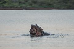 Hippopothamus - Kruger NP - South Africa (bart coessens) Tags: hippo hippopothamus sunset sunsetdam lowersable mammal mammals animal animals wildlife wildanimals sanp safari sanparks southafrica southafricannationalparks southernafrica kruger krugernationalpark