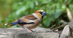Hawfinch, Forest of Dean (KHR Images) Tags: hawfinch coccothraustescoccothraustes mature male breedingplumage wild bird woodland forest forestofdean gloucestershire wildlife nature closeup sunlight nikon d500 kevinrobson khrimages finches fringillidae largestukfinch